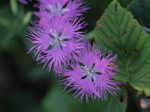 エゾカワラナデシコ 撫子ジャパンはこの花から